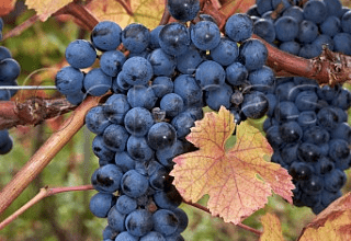 French Alps Wines and Rare Grapes